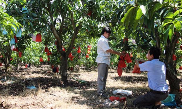 """Nhiều hộ trồng xoài ở địa phương đã áp dụng phương pháp """"mặc áo"""" cho xoài của ông Nhọn. Ảnh: Hoàng Nam."""