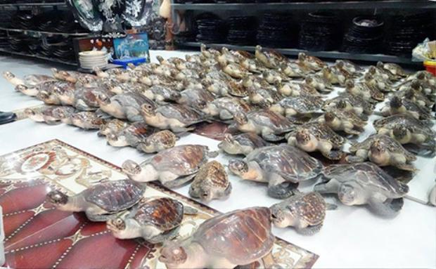 Các tiêu bản rùa được phát hiện tại cửa hàng mỹ nghệ của bà Thu. Ảnh: Quang Bình.