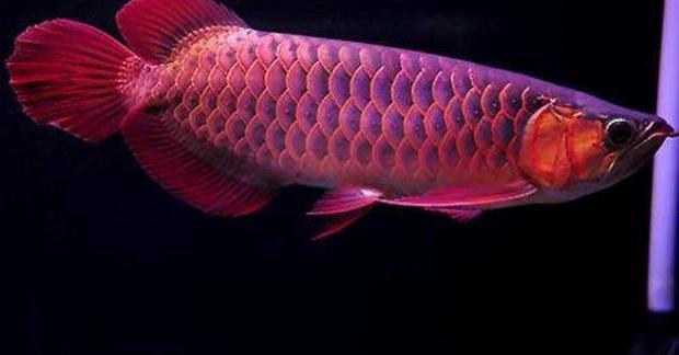 Chú cá huyết long này có giá 2.000 USD.