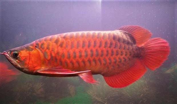 Cá rồng huyết long nổi bật nhờ sắc đỏ bên ngoài, hình dáng cân đối.