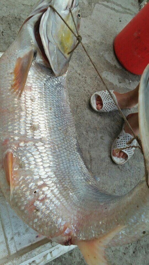 Người dân Mường Lay mới bắt được con cá măng to hiếm có
