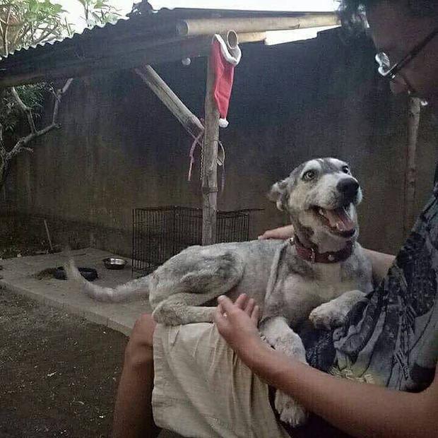 Chú chó Husky gầy trơ xương lột xác ngoạn mục sau 10 tháng được chủ mới chăm sóc