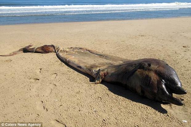 Loài sinh vật này có những đặc điểm giống cả cá voi lẫn cá heo.