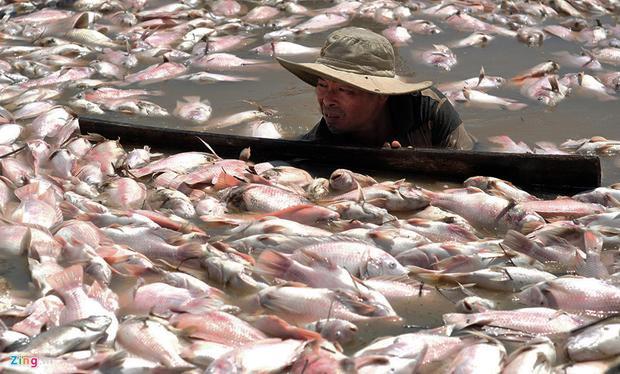 Đêm 20, rạng sáng 21/5, hơn 1.500 tấn cá của các hộ dân nuôi trong lồng bè trên sông La Ngà (huyện Định Quán, Đồng Nai) ồ ạt chết. Người dân sau đó vớt xác cá bán cho người dân ủ phân với giá từ 2.000-8.000 đồng/kg.