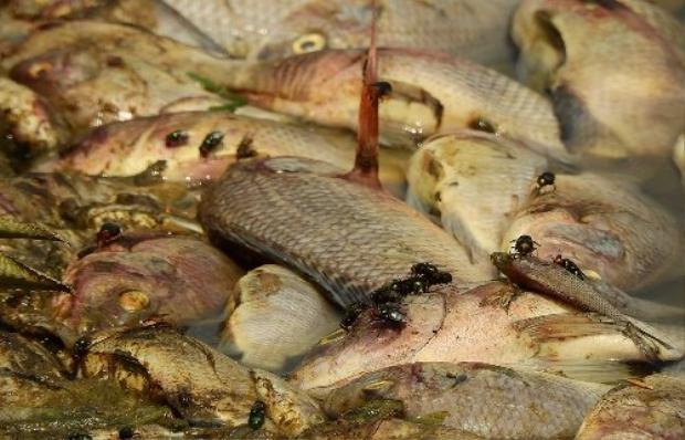 Ruồi nhặng bâu kín số cá chết trong hồ. Ảnh: Minh Cương