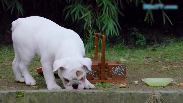 Chú chó Địch Bại thuộc giống cho pug được biên kịch mạn phép cho xuyên không về thời Tùy Đường