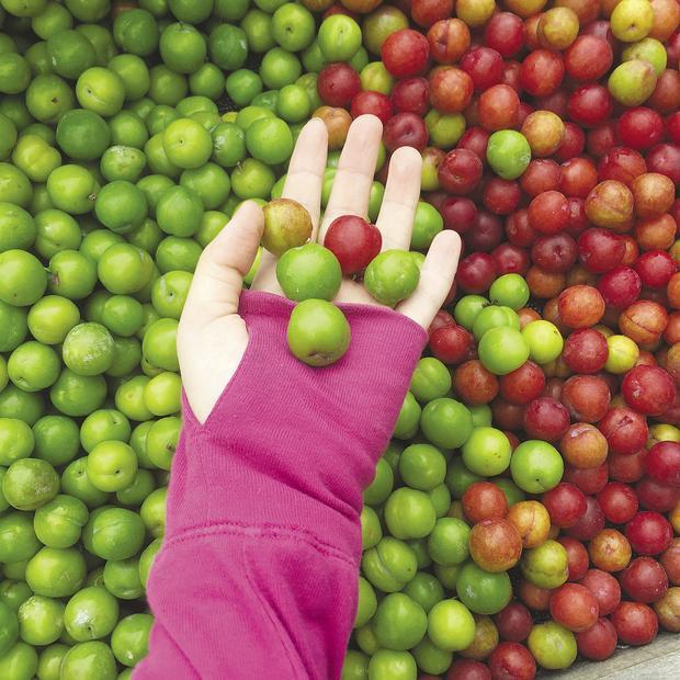 Những trái mận cơm rực rỡ sắc màu.