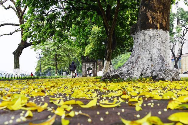 Mùa lá sấu rụng vàng phố phường.