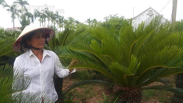 Nhờ trồng loại cây đếm lá lấy tiền mà mỗi năm gia đình bà Thảo có thêm khoản thu nhập vài chục triệu đồng.