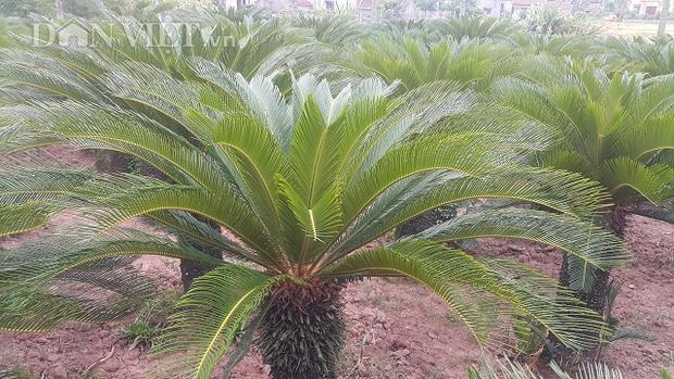 Đến nay, bà Nguyễn Thị Thảo đã trồng vạn tuế được trên dưới 20 năm, trung bình mỗi cây vạn tuế cao từ 1,3 - 1,5 m, cá biệt có những cây to cao hơn 2 m.