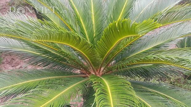 Trung bình một năm cây vạn tuế cho thu hoạch lá khoảng 3 lần và mỗi lần một cây vạn tuế cắt 1 vanh (1 vanh khoảng 50-60 lá).