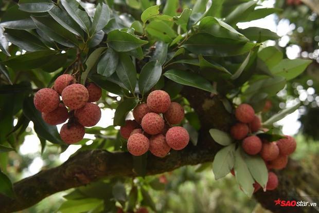 Năm nay, đa số người trồng vải ở Bắc Giang đều được mùa, quả sai trĩu cành.
