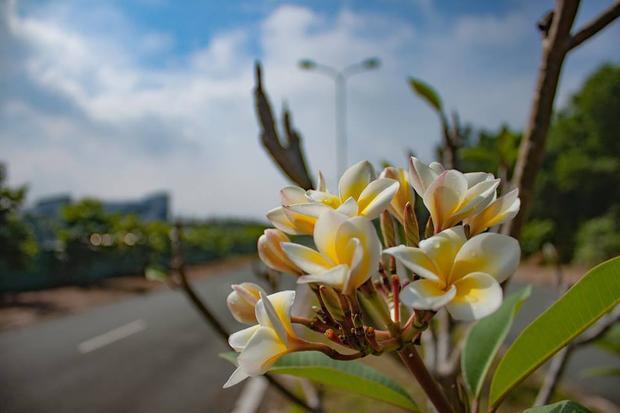 Loài hoa sứ có mặt ở nhiều khu giảng đường thuộc khuôn viên ĐH Nông Lâm.