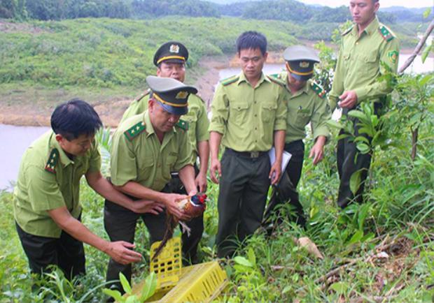 Kiểm lâm thả chim trĩ vào Vườn quốc gia Vũ Quang. Ảnh: Đ.H