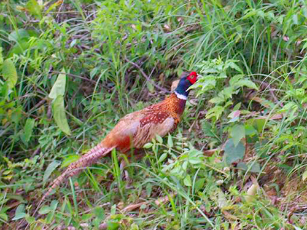 Cá thể chim trĩ đỏ nặng 1,2 kg, có bộ lông sặc sỡ. Ảnh: Đ.H