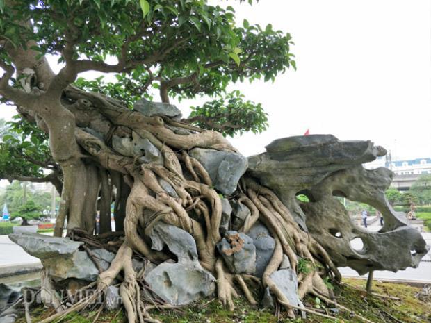 """Bộ rễ của sanh bon sai """"Nghinh phong"""" được bám nêm chặt vào đá càng tạo thêm vẻ đẹp cho tác phẩm này."""