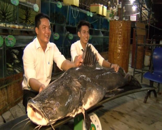 """Cá lăng có chiều dài, trọng lượng siêu khủng bắt được ở trên sông Tiền đoạn chảy qua tỉnh Đồng Tháp. Con """"quái ngư"""" to chưa từng thấy này có chiều dài hơn 2,2 mét, chiều rộng 1,1m."""