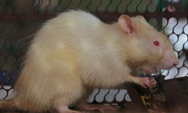 Chuột cống toàn thân có màu trắng được người dân nuôi làm cảnh: Ảnh: Hoàng Nam.