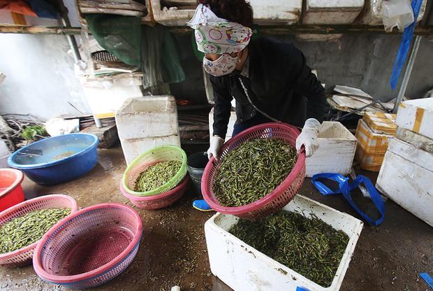 Ngoài các hộ đầu mối thu mua, hiện có khoảng 50 gia đình tham gia công việc sơ chế châu chấu ở xã Lê Thanh.