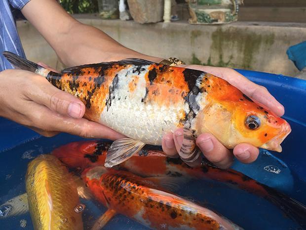 """Cá Koi showa (nền trắng pha đỏ, đốm đen). Theo các chủ trang trại, cá Koi là một họ của cá chép - biểu trưng cho sức sống mạnh mẽ và tràn đầy năng lượng, giống như sự tích """"cá chép hóa rồng"""", tạo ra sự thay đổi tốt đẹp."""
