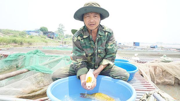 """Ông Phan Văn Sơn, người sở hữu trang trại cá Koi giữa lòng sông Hồng. Ông Sơn chia sẻ: """"Trong một đàn cá, chỉ có khoảng 5% cá thể có màu sắc đạt chuẩn, được định giá tiền triệu (đồng) trở lên. Số cá Koi còn lại được chọn lọc dần dần, theo từng phân khúc và giá bán khác nhau""""."""