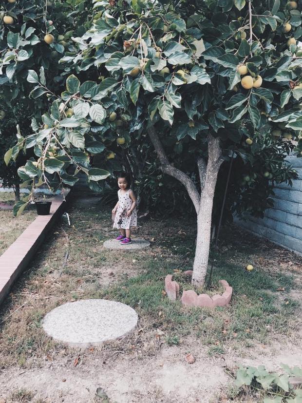 Không có diện tích lớn xong bất cứ chỗ nào gia đình cô cũng tranh thủ trồng các loại cây ăn quả, rau và hoa. Trong hình là cây hồng sai trĩu quả ở một góc vườn.