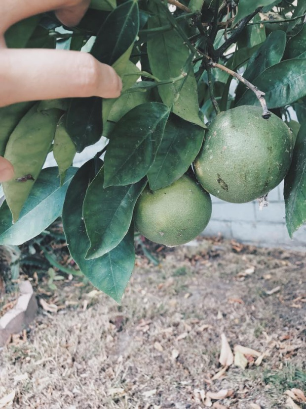 Cây cam sai quả trong khu vườn nhỏ của Kim Hiền.