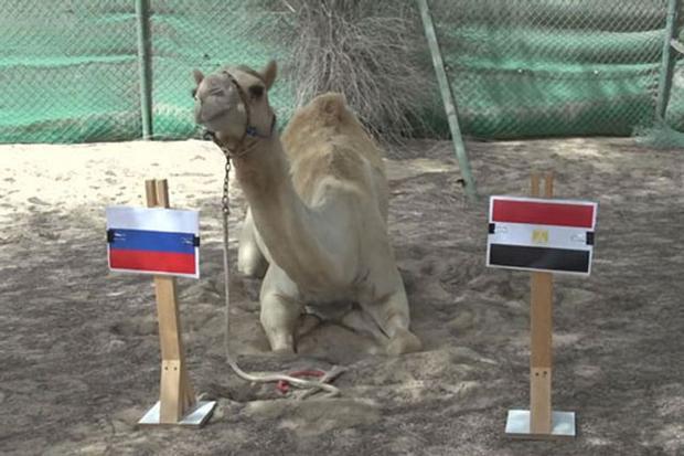 Tiên tri lạc đà dự đoán Ai Cập sẽ thất bại trước Nga.