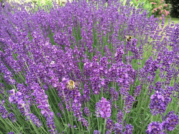 Loài hoa oải hương lãng mạn cũng được cô Thanh trồng tại vườn nhà.