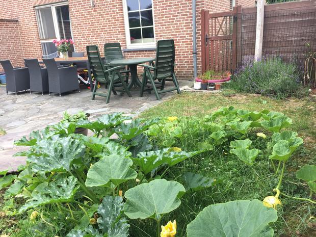 Bí ngô được trồng bò tự nhiên trong vườn nhà.