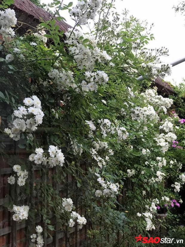 Khu vườn hoa hồng của chị Xinh được khen như một không gian cổ tích, niềm ao ước của rất nhiều người.