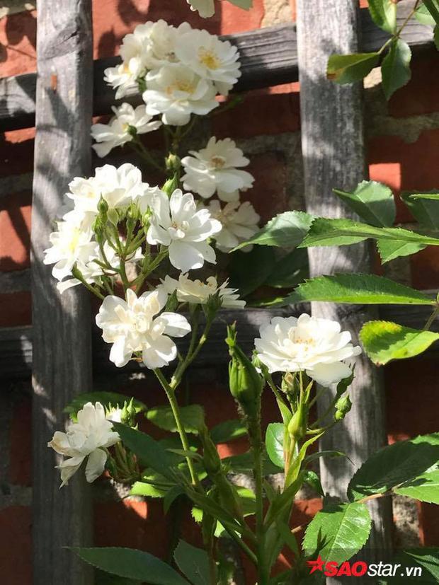 Chồng chị ngày thường cũng giúp chị rất nhiều trong công việc chăm sóc. Hai vợ chồng cùng làm vườn với nhau để có được khu vườn đẹp nhất.