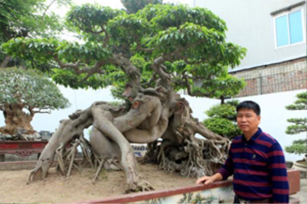 """Cây sanh có tên """"Ngọa hổ tàng long"""" của anh Toàn từng được khách trả giá 1,4 triệu USD."""