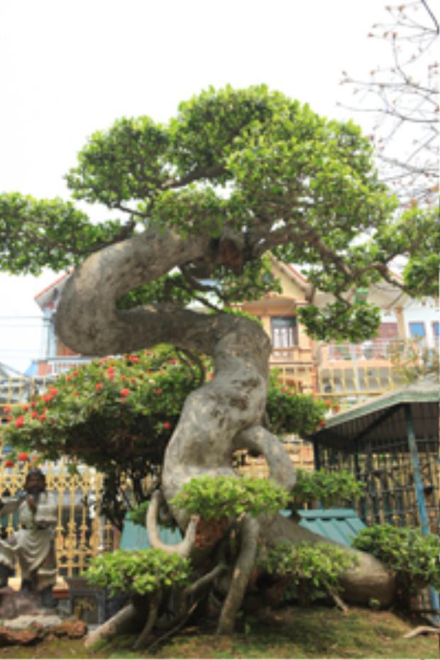 Duối cổ được tạo tán uốn lượn theo hình chữ Tâm trị giá hàng triệu USD tại vườn của anh Toàn.