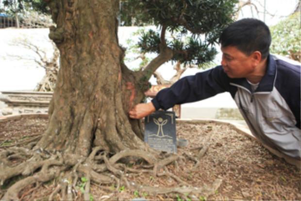 Anh Toàn đang chăm sóc một cây tùng kiểng có tuổi đời hơn 500 trăm năm.