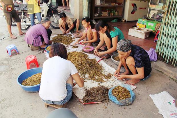 """Làng Lai Xá (xã Lê Thanh, huyện Mỹ Đức) đã ngót nghét 2 thập kỷ gắn với nghề """"vặt cánh, đóng thùng"""" châu chấu."""