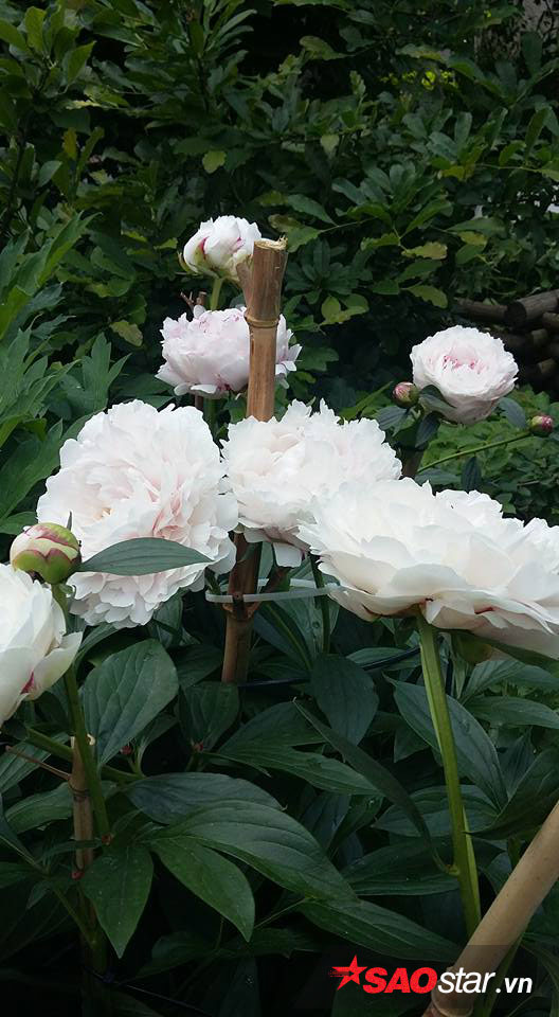 Chị cùng chồng trồng nhiều nhất trong vườn là hoa Trà, Đỗ Quyên, Cẩm Tú Cầu, Mẫu Đơn, Tulip, Hồng, Ly, Oải hương… Rau thì chị trồng cải cúc, mồng tơi, cà chua, dưa chuột…