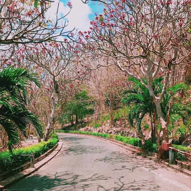 Con đường ngập tràn hoa sứ trong Bạch Dinh. - Ảnh: @trucnguyen