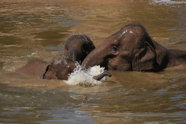 Tại vườn thú Chester, những con vật cũng vùi mình xuống nước để làm mát cơ thể. Ảnh: Peter Byrne