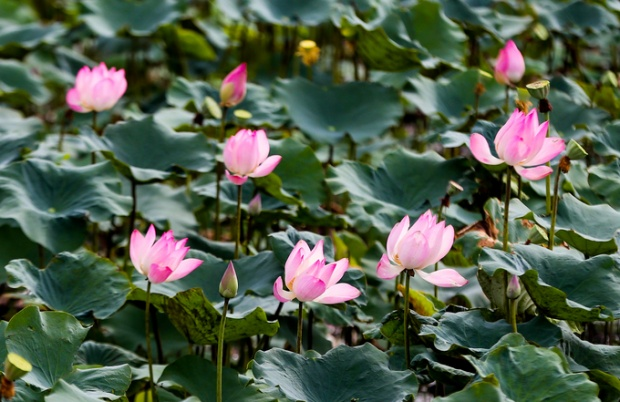 Từ tháng 6 đến tháng 9, sen vào mùa nở rộ, cả đầm có một màu xanh ngát với hàng nghìn cánh hoa khoe sắc hồng.