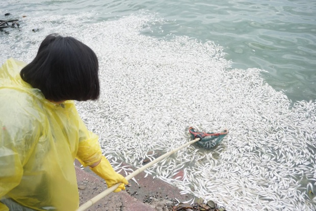 Các loài cá chết chủ yếu là cá nhỏ. Tuy nhiên, nhiều con cá to như cá mè, trắm, trôi cũng bắt đầu chết bị sóng đánh dạt vào bờ. Đêm qua, nhiều công nhân cũng đã trắng đêm vớt cá chết nhưng tình hình không thuyên giảm.