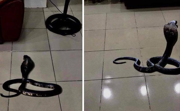 Cận cảnh con rắn hổ mang cực độc xuất hiện trong nhà giám đốc Bệnh viện.