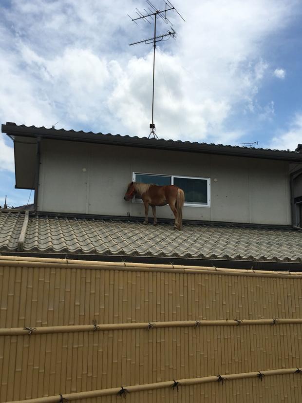 Chú ngựa Leaf bị mắc kẹt trên mái nhà sau khi lũ lụt đi qua.