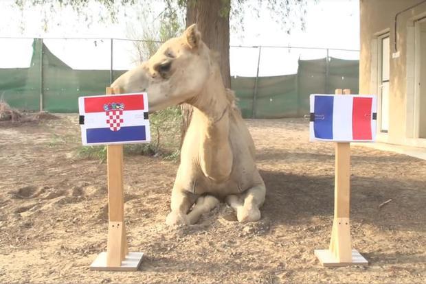 Lạc đà Shaheen dự đoán Croatia sẽ đánh bại Pháp.