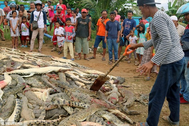 Xác cá sấu chất thành đống sau cuộc tàn sát của dân làng. Ảnh: Reuters