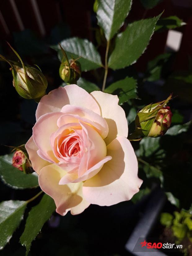 Một số cây non và hoa hồng nhiều rệp nên chị phải chăm sóc cẩn thận, thậm chí là phun thuốc để tiêu diệt. Với rau thì chị giã tỏi ớt pha cùng nước rửa bát và nước để diệt sâu.