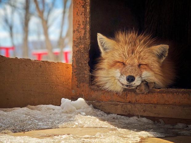 """Giải ba Động vật - """"Smiling Fox"""": Chú cáo này đang ngủ trong một chiếc hộp và thò đầu ra tận hưởng ánh nắng mùa đông. Chụp bằng iPhone X. (Erica Wu)"""