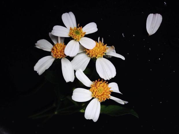 Khung nền đen làm nổi bật sắc trắng, nhụy vàng của hoa.