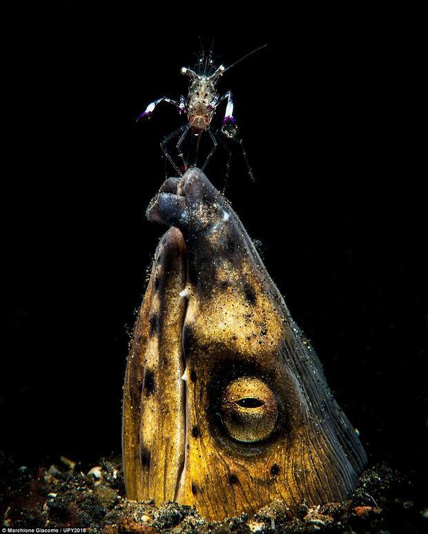 Bức ảnh ghi lại khoảnh khắc một con tôm đậu trên miệng con lươn đen Saddle được thực hiện bởi nhiếp ảnh gia người Ý, Marchione Giacomo.