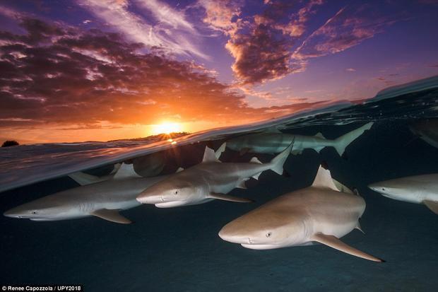 """Bức ảnh Blacktip Rendezvous được chụp bởi nhiếp ảnh gia người Mỹ, Renee Capozzola. Những con cá mập được chụp vào lúc hoàng hôn ở Polynesia, Pháp. Chia sẻ về tác phẩm của mình, Capozzola nói: """"Polynesia là địa điểm lý tưởng và yêu thích của tôi mỗi khi chụp cá mập, vì tại đây sở hữu những vùng nước cạn""""."""
